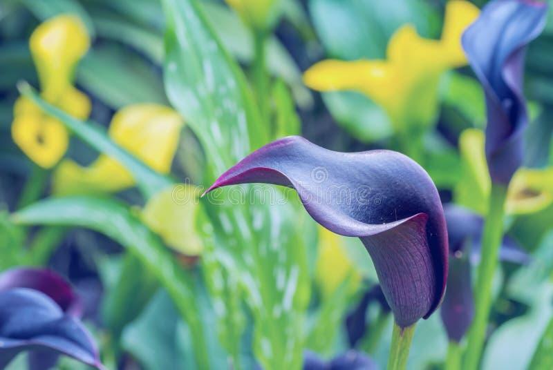 голубая лилия calla стоковое изображение