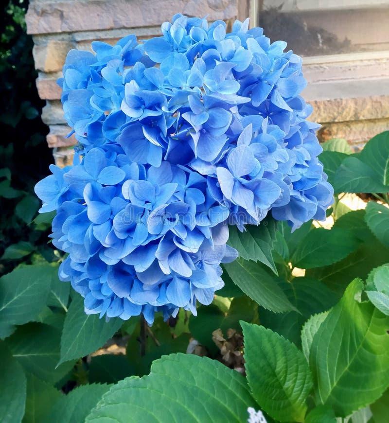 Голубая красота стоковая фотография
