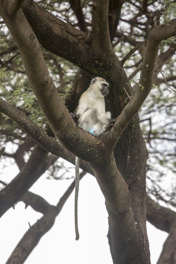 Голубая обезьяна шарика сидя в дереве, озере Manyara, Танзании стоковые фотографии rf