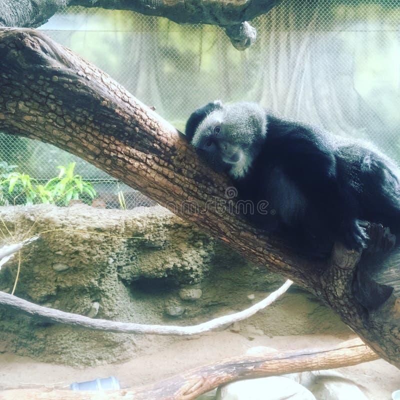 голубая обезьяна стоковые изображения