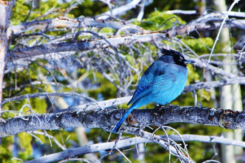 Голубая птица готовая на зима стоковые изображения