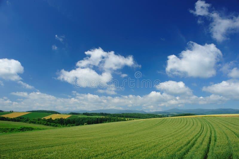голубая пшеница неба поля стоковое фото