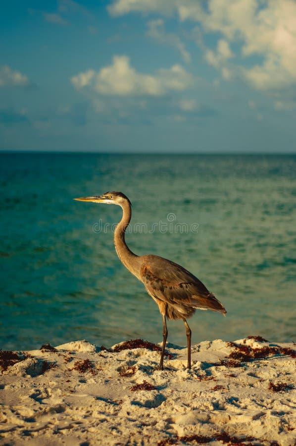 Голубая цапля на пляже стоковое изображение