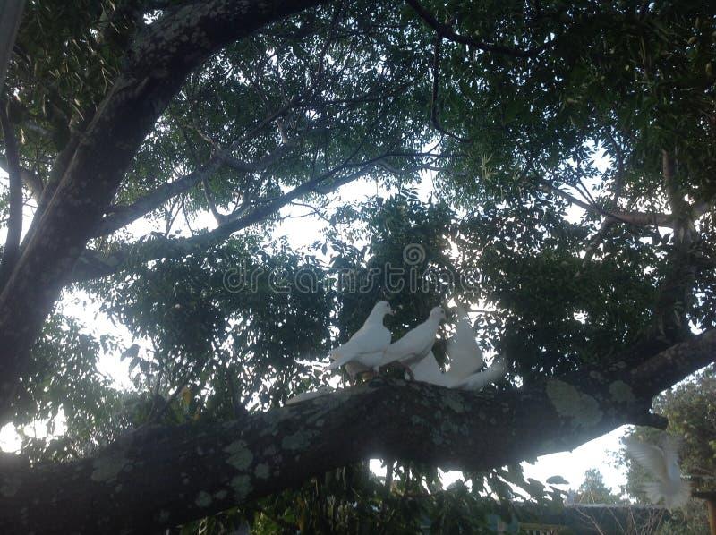 голуби белые стоковое фото rf