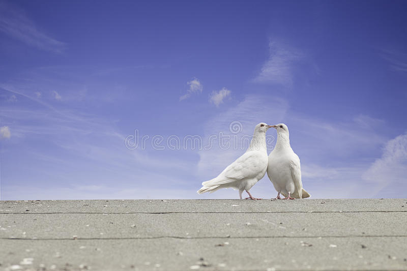 голуби белые стоковая фотография