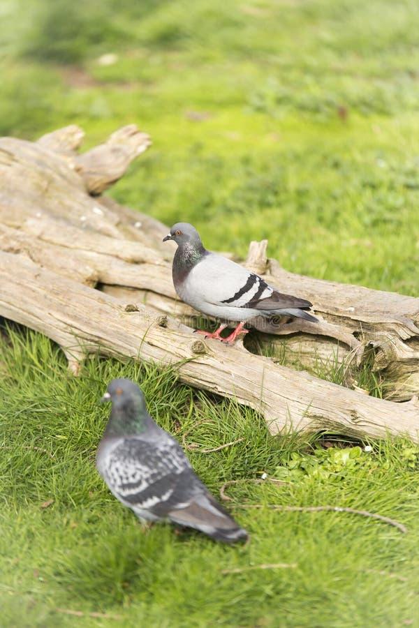 голуби в зоопарке стоковые фото