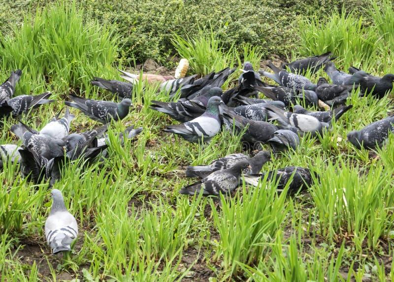 Голуби в траве стоковая фотография