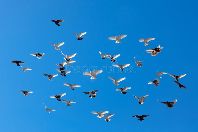 Голуби летания стоковое фото rf