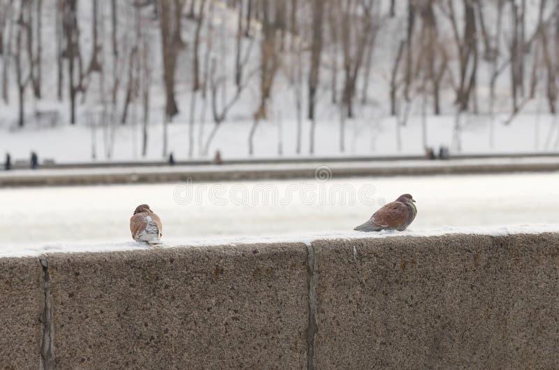Голуби на парапете зимы обваловки стоковая фотография rf