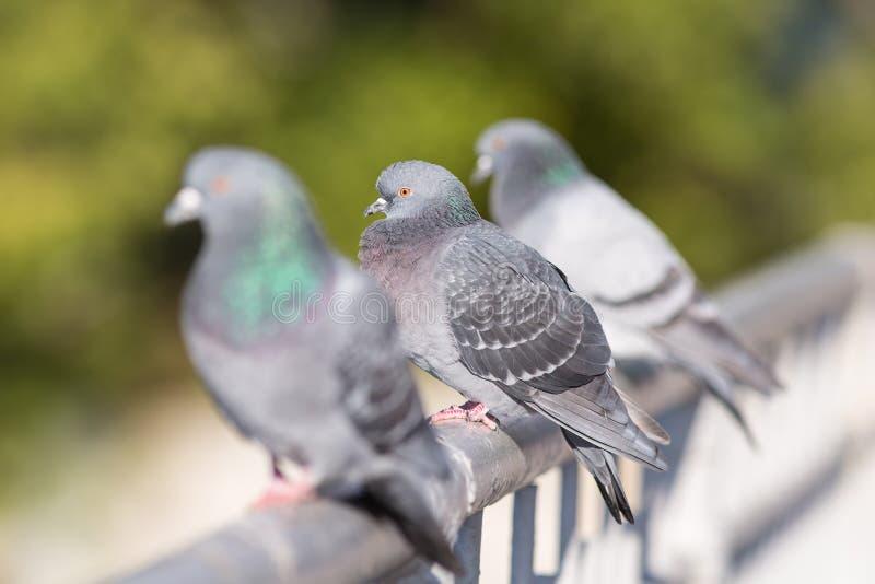 Голуби отдыхая на перилах стоковое изображение