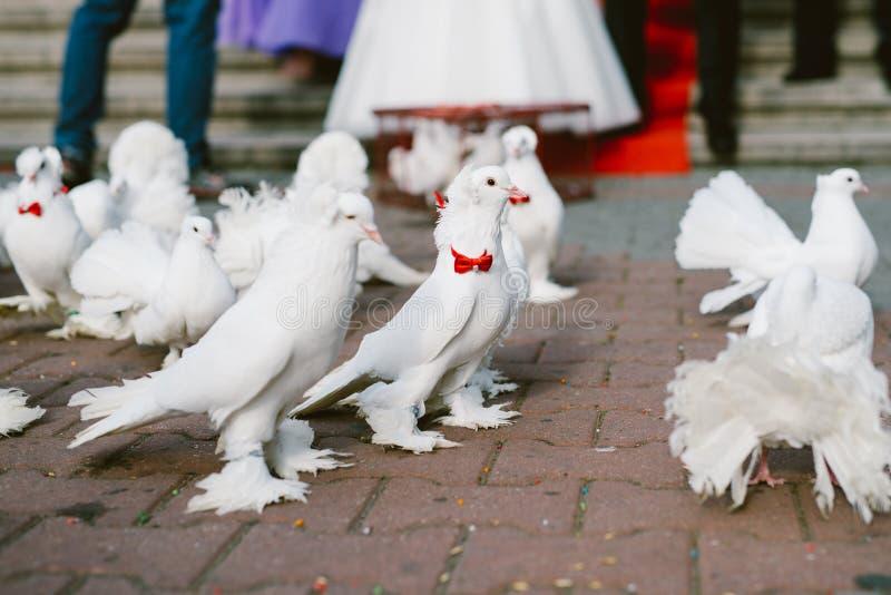 Голуби свадьбы стоковая фотография rf