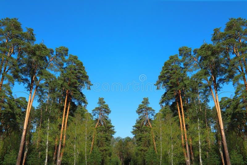 голубое глубокое небо сосенки пущи вниз стоковые изображения rf