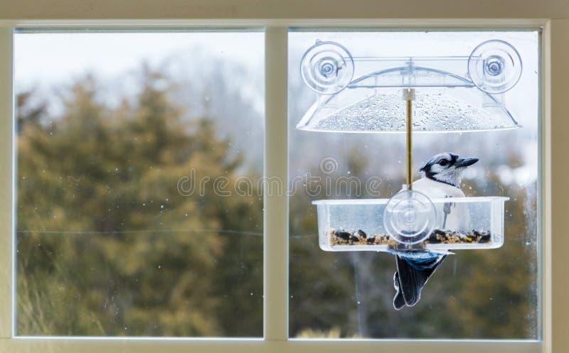 Голубое Джэй в фидере птицы окна стоковые фото