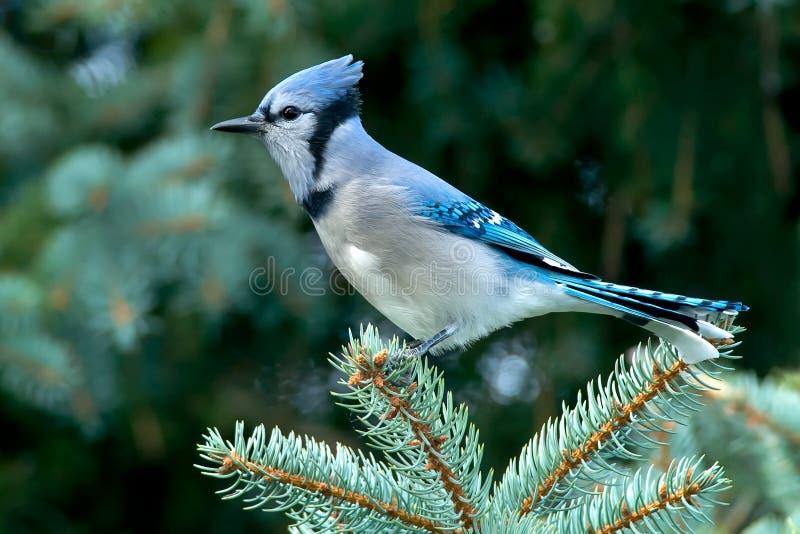Голубое Джэй стоковая фотография