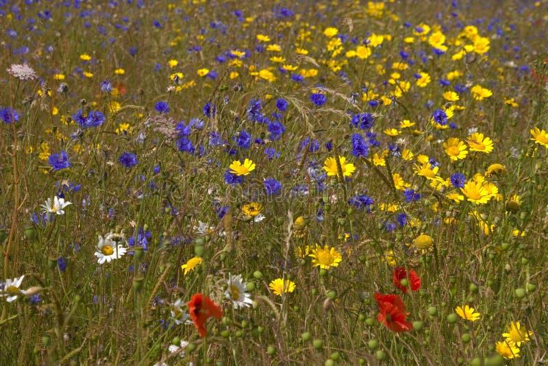голубое поле цветет лето неба лужка травы вниз стоковое изображение