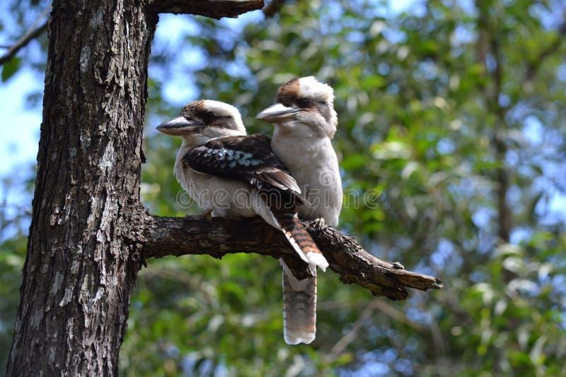 голубое подогнали kookaburra, котор стоковое фото