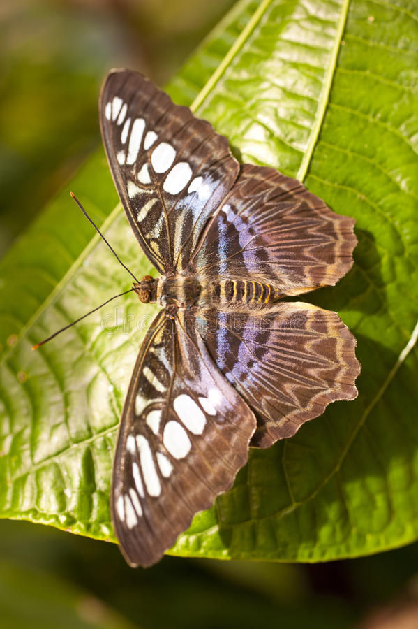 Голубое lilacinus Parthenos sylvia клипера стоковое изображение