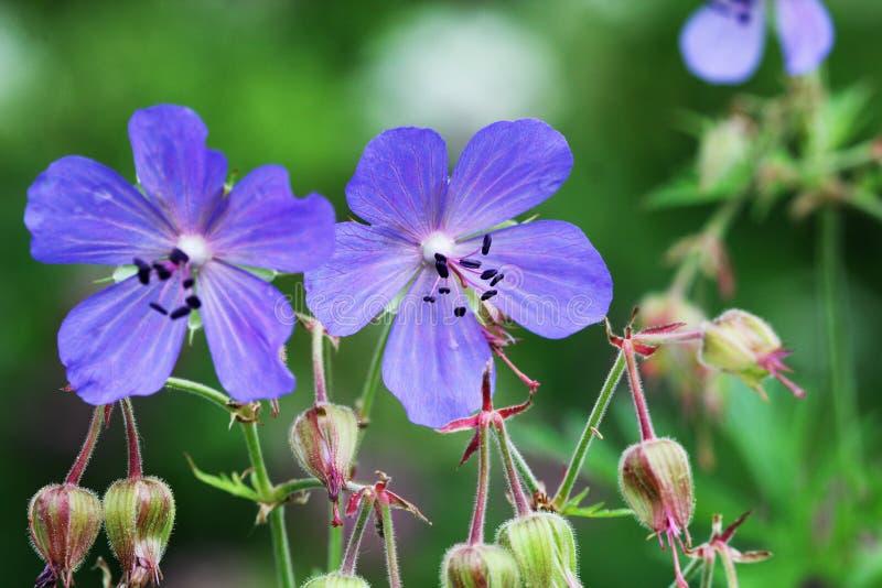 голубое pratense гераниума цветка Pratense гераниума известное как ` s-Билл крана луга или гераниум луга стоковая фотография rf