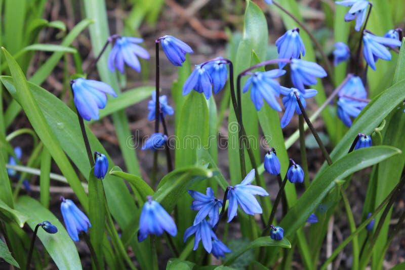 Голубое scylla стоковое изображение