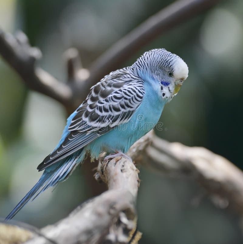 Голубой волнистый попугайчик стоковая фотография rf