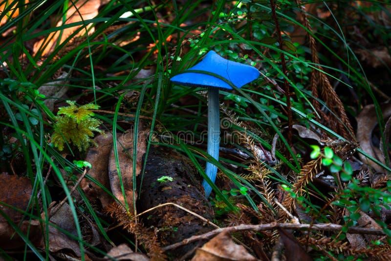 Голубой гриб стоковая фотография