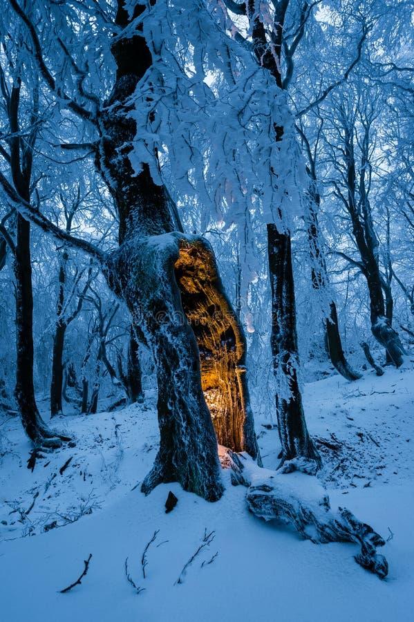 Голубой лес зимы с одиночным деревом с загадочным заревом внутрь стоковая фотография