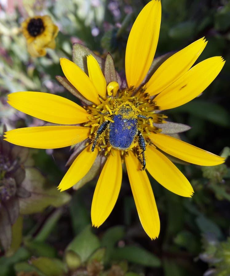 Голубой жук скарабея на маргаритке стоковое изображение rf