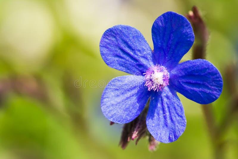 Голубой итальянский цветок Bugloss стоковое изображение rf