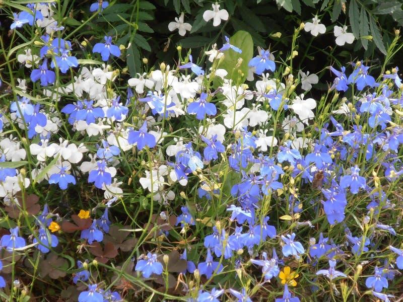 Голубой и белый цветок лобелии стоковое изображение