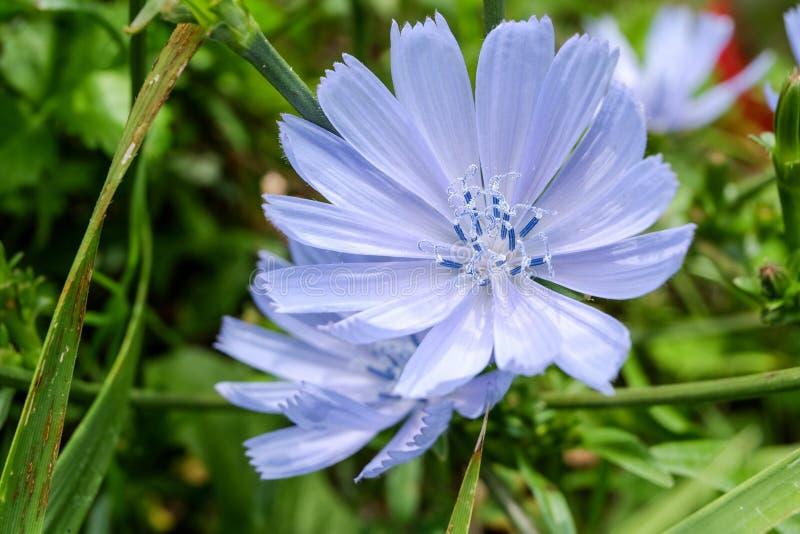 Голубой крупный план цветка cichorei в зеленом поле стоковые фотографии rf