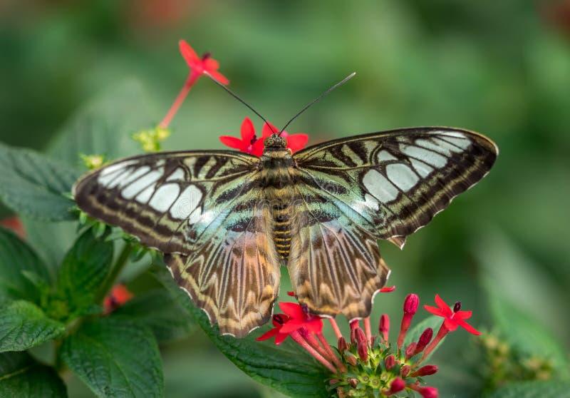 голубой клипер бабочки стоковое фото