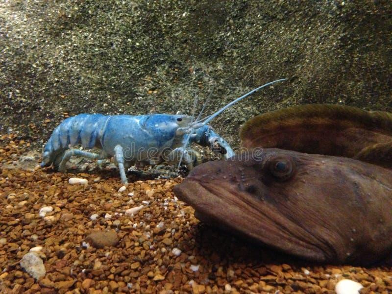 Голубой омар в цистерне с водой на аквариуме стоковые изображения rf