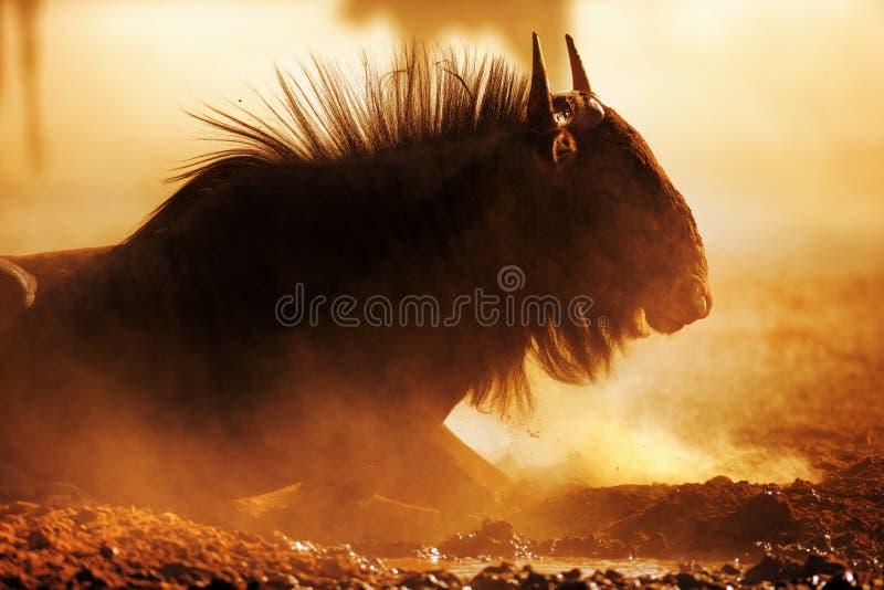Голубой портрет антилопы гну в пыли стоковое изображение