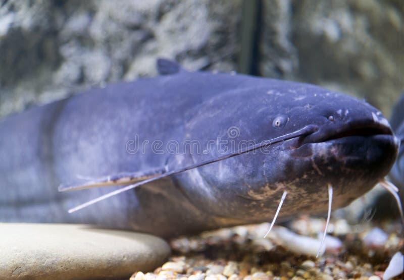 Голубой сом в аквариуме около стекла стоковая фотография rf