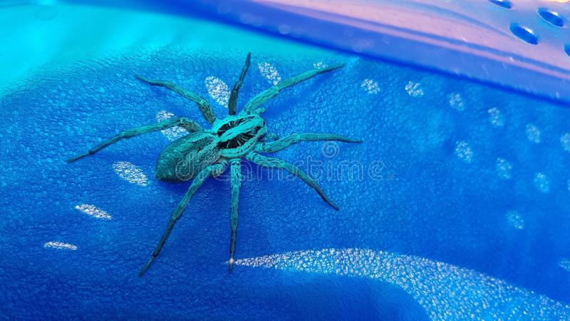 голубой спайдер стоковые изображения rf