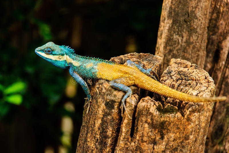 Голубой хамелеон Стоковое фото RF