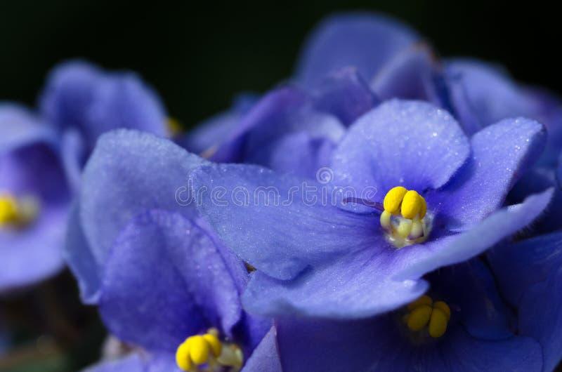 Голубой цветок узамбарской фиалки стоковое фото