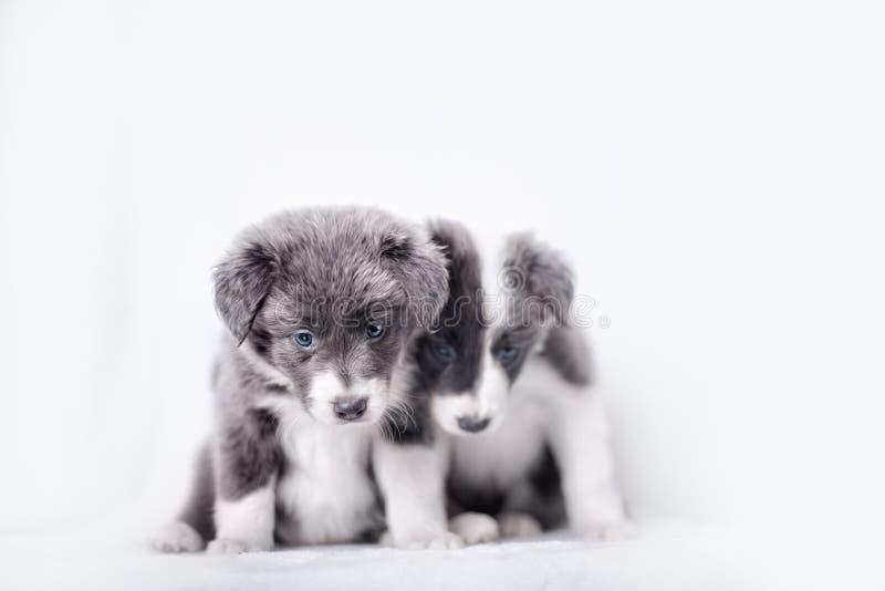 голубой щенок merle Коллиы граници стоковые изображения