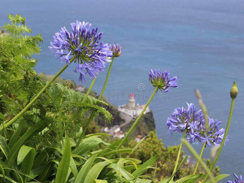 Голубой agapanthus цветет против маяка и океана стоковое фото rf
