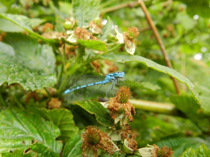 Голубой dragonfly смотря в камеру стоковые изображения