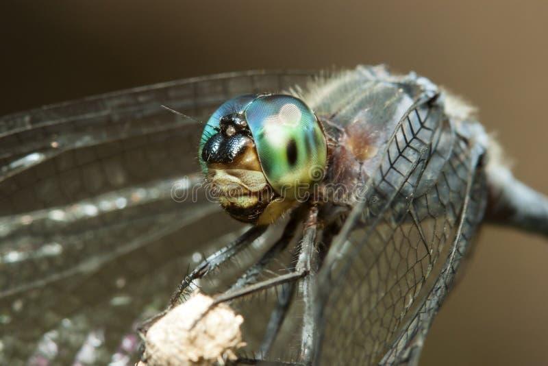 Голубой dragonfly с портретом макроса зеленых глаз на ручке стоковые изображения rf