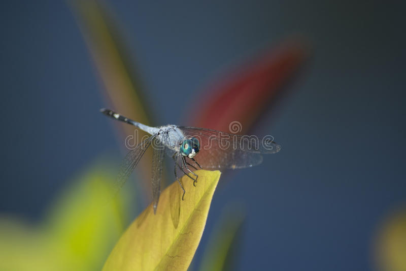 голубой dragonfly dasher стоковое фото rf