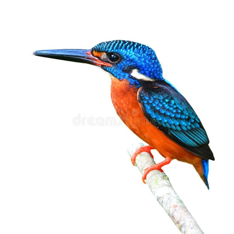 голубой eared kingfisher стоковые фотографии rf