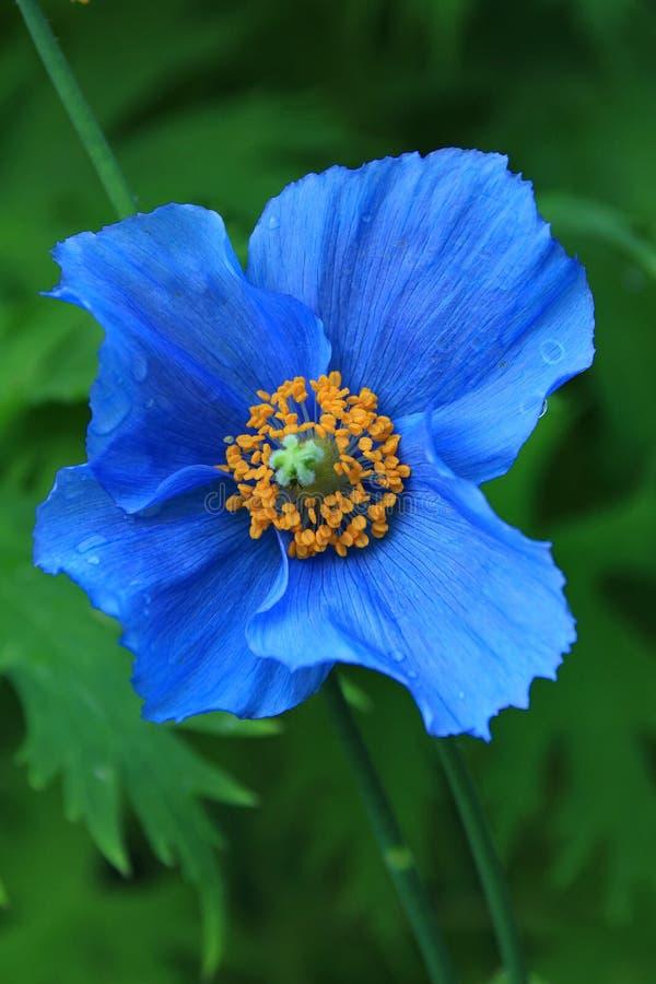 голубой himalayan мак стоковая фотография rf