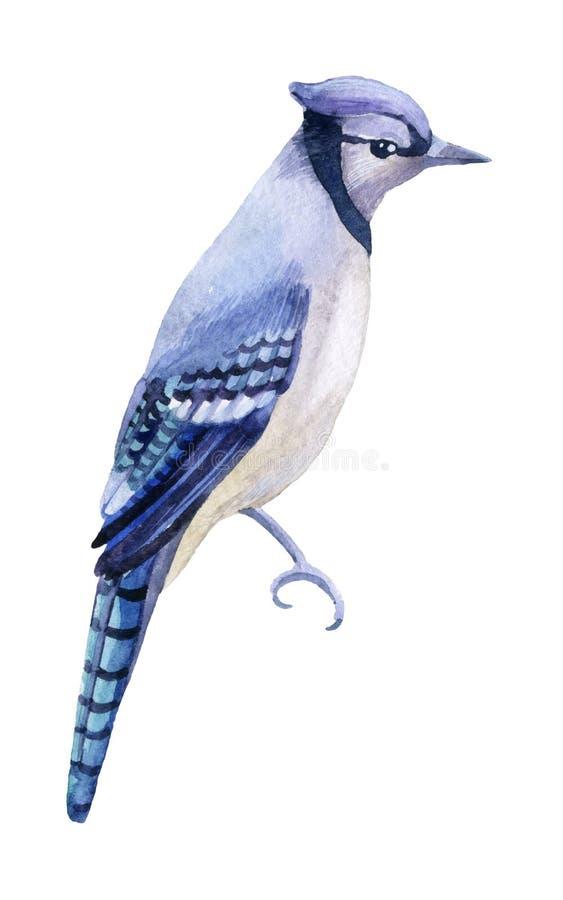 Голубой jay на белой предпосылке иллюстрация штока
