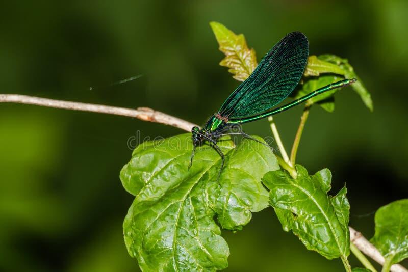 Голубой virgo Calopteryx dragonfly стоковое изображение rf