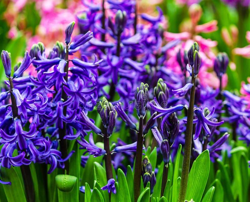 голубые гиацинты стоковые изображения
