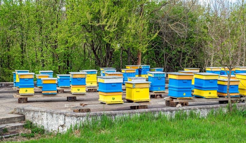 Голубые и желтые крапивницы пчелы стоковые изображения rf