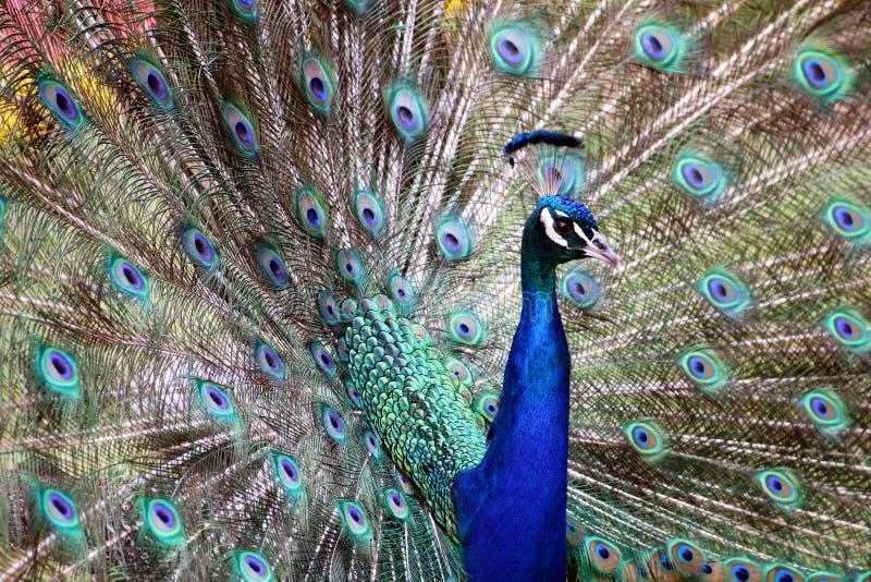 Голубые красочные мужские сделанные по образцу павлины и текстурированный Disp пера стоковая фотография rf