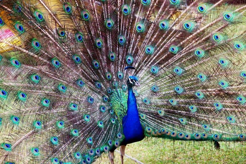 Голубые красочные мужские сделанные по образцу павлины и текстурированный Disp пера стоковые фотографии rf